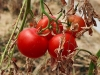 Tomatoes on the Gush Katif Settlement
