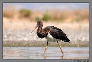 black_stork 1 copy