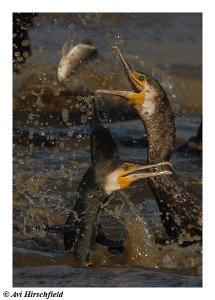 great_cormorant copy