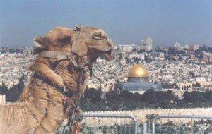Camel_in_Jerusalem