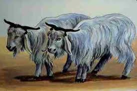 identical goats