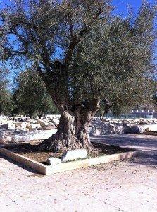 Olive Tree Temple Mt
