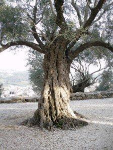 Olive tree 3 copy