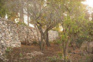 Olive tree walk abri