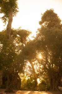 Sun behind Olive Tree 1 Abri
