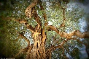 gnarled roots olive tree Abri