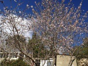 Almond blossoms 1
