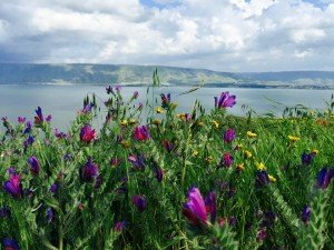 Beautiful flowers of the Galilee