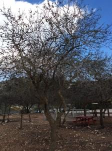 Almond tree in bloom.