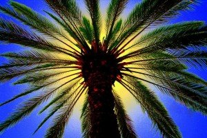 Sun shining through the date palm.